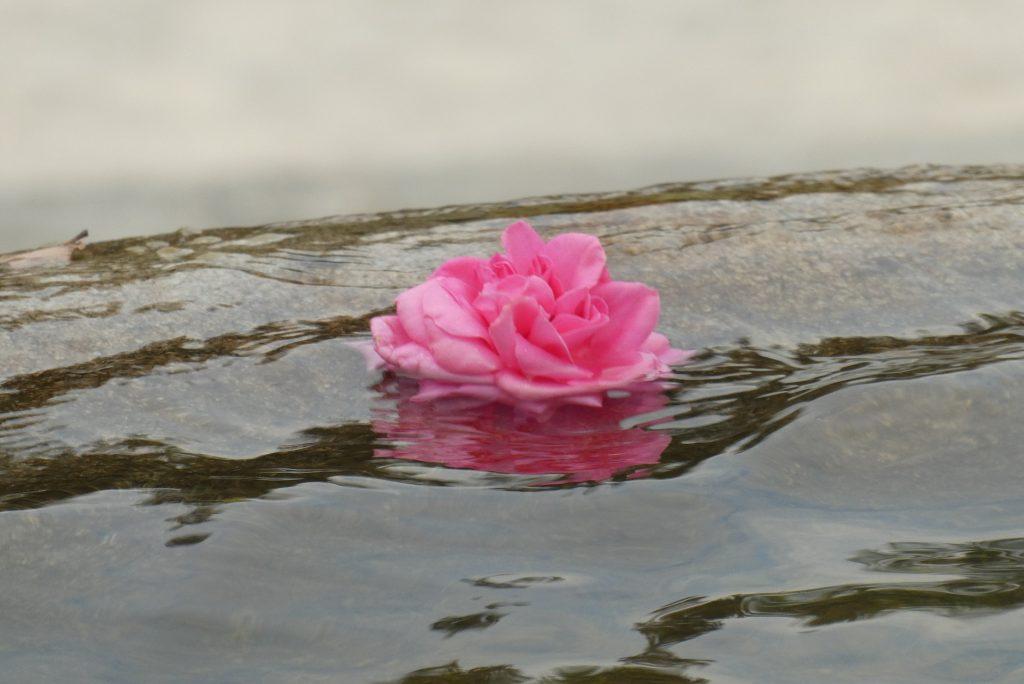 rose-3859934_1920